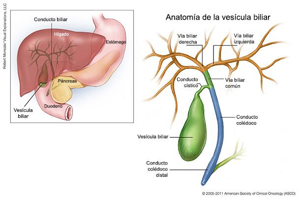 Cáncer de vesícula biliar: Ilustraciones médicas | Cancer.Net