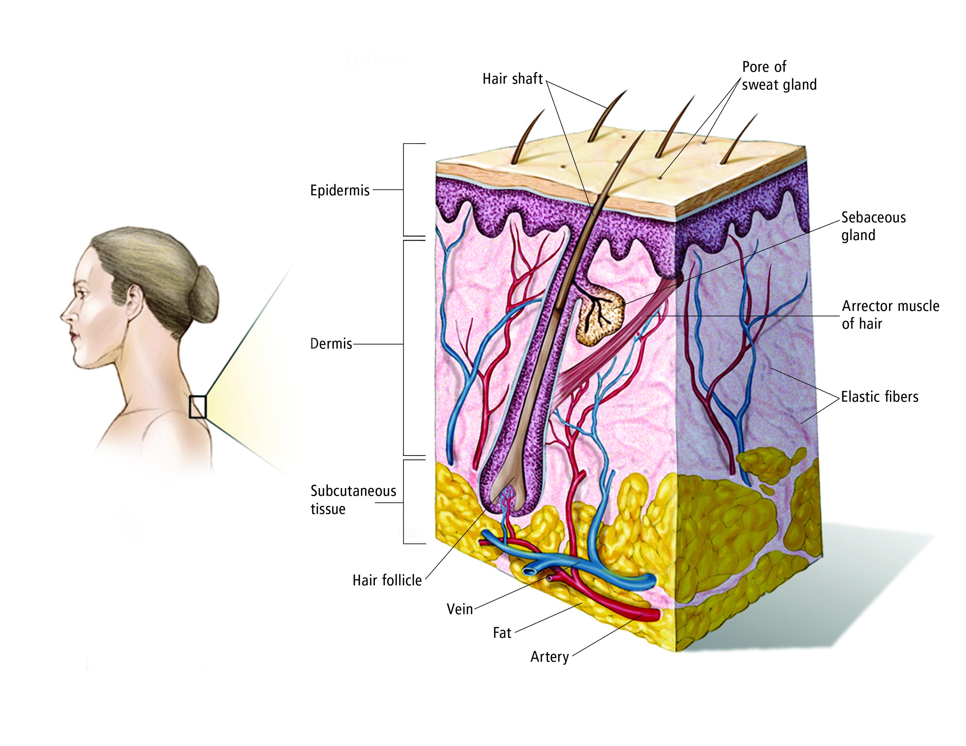 Skin Cancer Non Melanoma Medical Illustrations Cancer Net