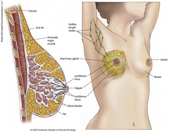 Medical Illustrations Gallery | Cancer.Net
