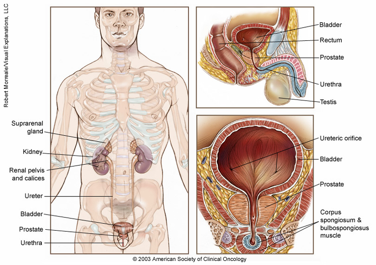 Prostate Cancer Medical Illustrations Cancer