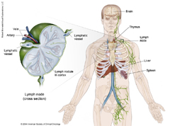 Adult Lymphoma Anatomy