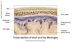 Brain Meninges Anatomy