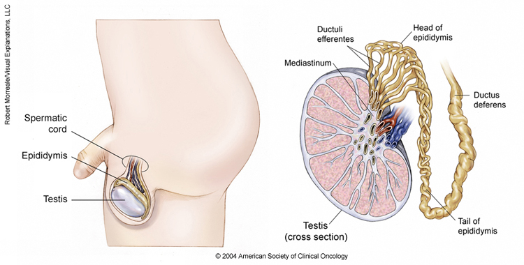 testicular pain after orgasm